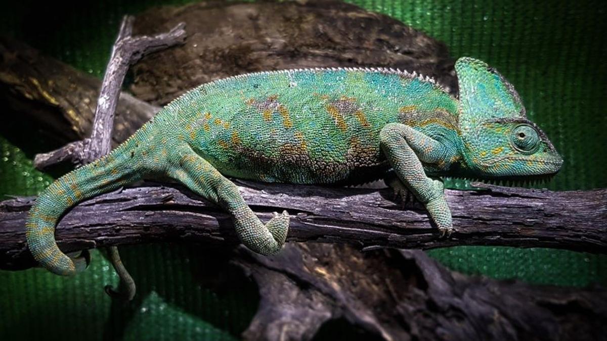 Ejemplar de camaleón de Yemen recuperado en Gran Canaria