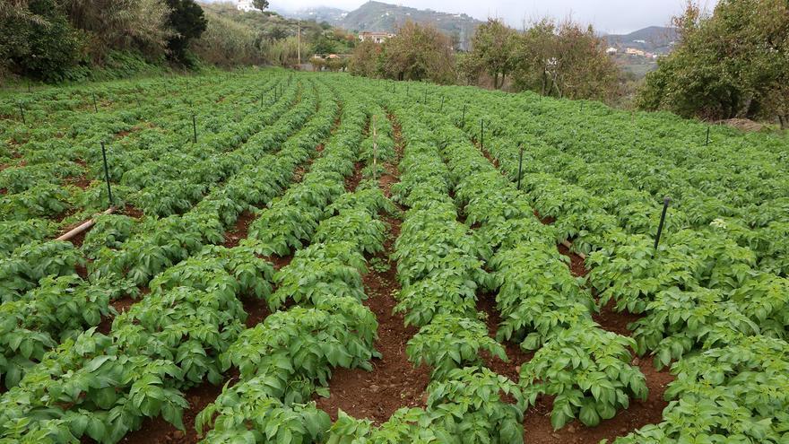 Plantación de papas en Tafira (ALEJANDRO RAMOS)