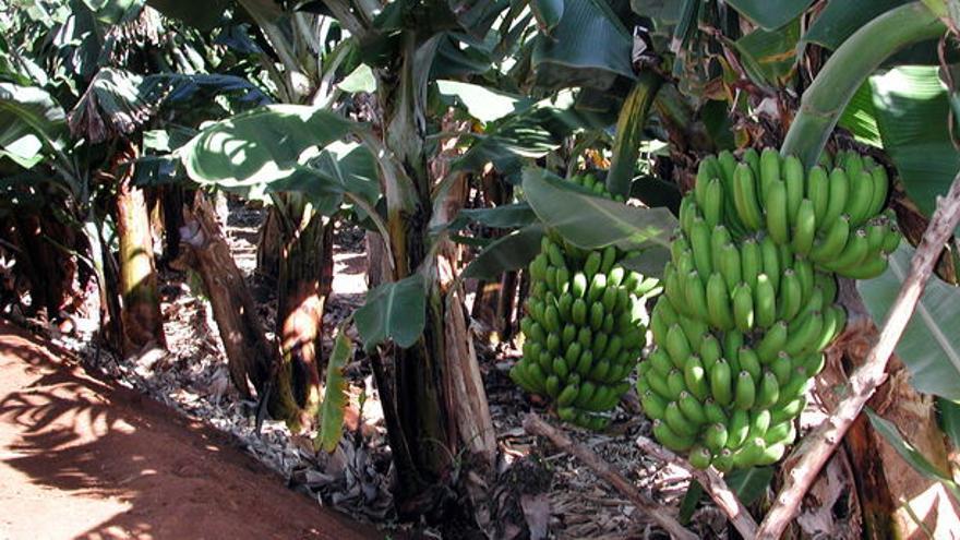 Finca de plátano al aire libre, en Canarias