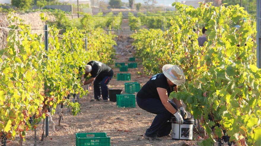 Recogida de racimos de uvas en una finca de Bodegas Ferrera, en Arafo
