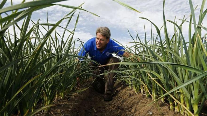 En el descenso de las siembras de ajo está influyendo de forma clara la sequía que afecta a todo el territorio de siembra de ajo