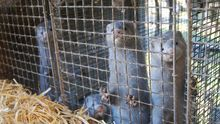 Visones en una granja, víctimas de la industria peletera. Foto: Igualdad Animal