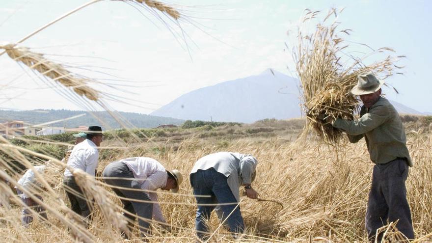 Siega del trigo en los altos de Los Realejos, en la zona agrícola de Icod el Alto