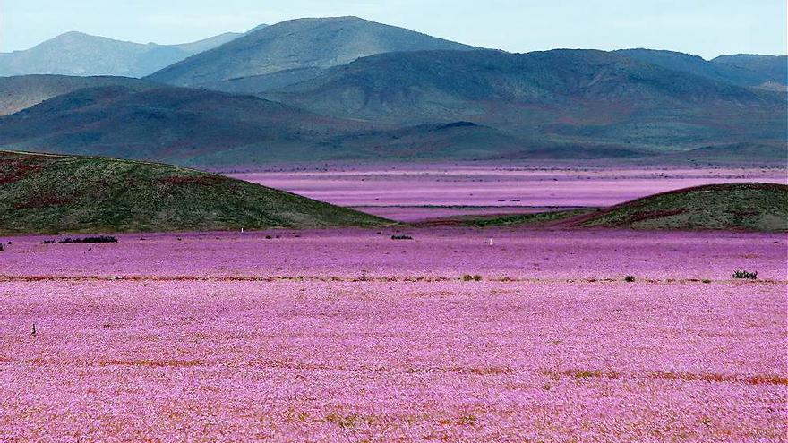 La inusual floración del desierto de Atacama (Chile)