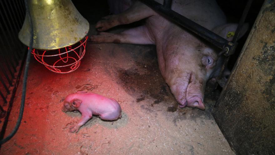 Condiciones de vida de una cerda y su cría en una granja de explotación porcina.