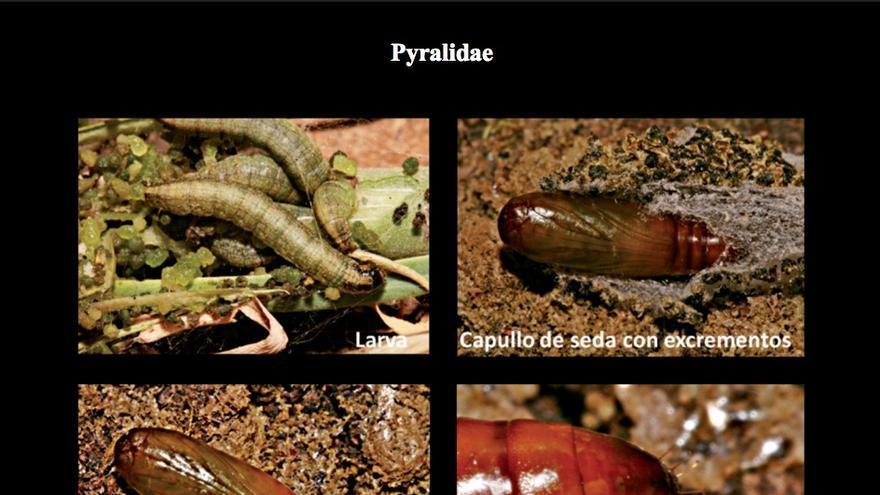 Ciclo biológico de la polilla 'Denticera divisella'.