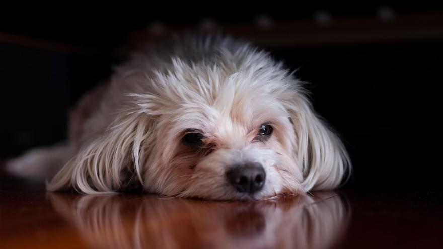 Lucas fue comprado siendo cachorro en una tienda de animales. Tenía sarna y otras enfermedades