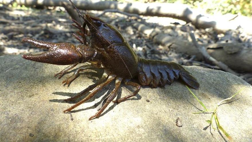 Hallado un tipo de cangrejo español resistente al mal que diezmó la especie
