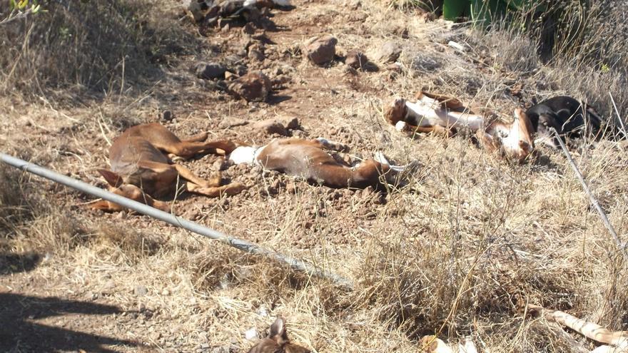 En la imagen, los perros envenenados en la mañana de este domingo. Foto cedida por la Federación Insular de Caza.