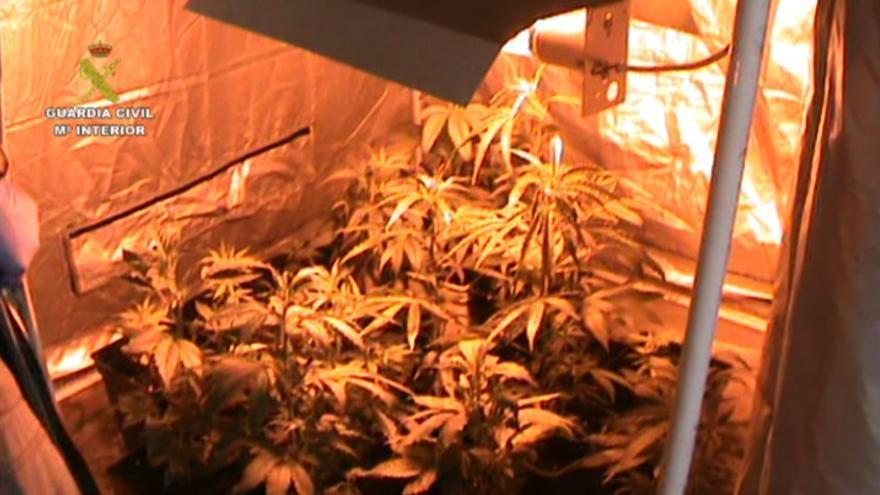 Plantación de marihuana en Vecindario.