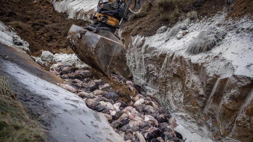 Dinamarca desenterrará a millones de visones sacrificados para incinerarlos