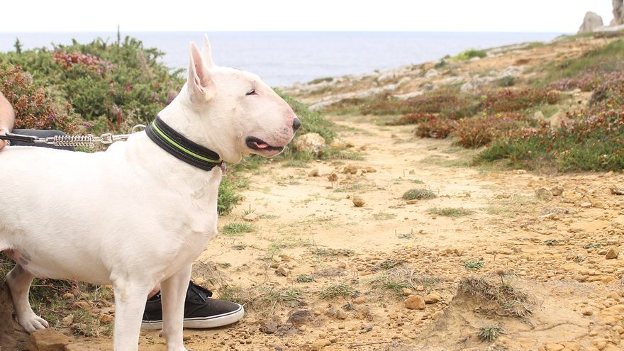 Telmo es un bull terrier por lo que no está catalogado como PPP en España, pero sí en algunos Ayuntamientos y CCAA   Foto: BLANCA SÁINZ