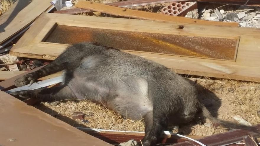 Jabalí decapitado en uno de los vertederos ilegales