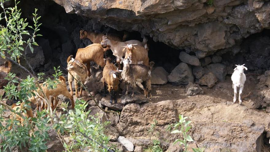 Cabras en una cueva de habitación benahoarita en Barranco Hondo (Villa de Mazo). Foto: Jorge Pais.