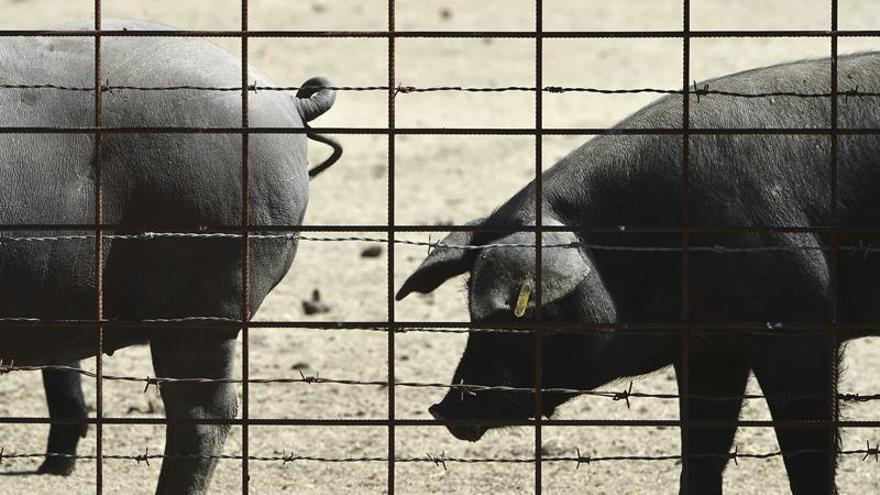 Robaban cerdos en el campo y los mataban a golpes para vender la carne