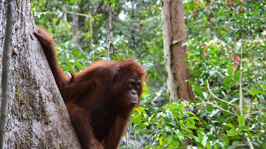 Orangután en el Centro de Recuperación de Sepilok. Victor Ulijn