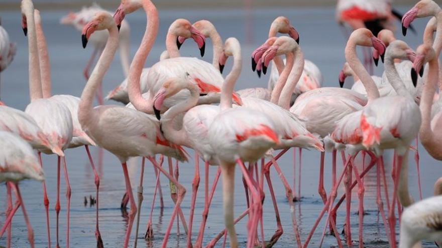 Flamencos en la Laguna de Fuente de Piedra / Foto: Marta Luque-www.andalucía.org