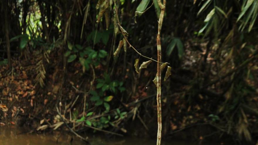 """Niña awá juega con una liana en la Amazonia brasileña. Ahora el futuro de los pueblos indígenas de todo el país pende de un hilo a causa de la propuesta """"PEC 215"""", que se debate en el Congreso para cambiar la Constitución. De aprobarse, daría a los terratenientes la posibilidad de bloquear el reconocimiento de nuevos territorios indígenas, e incluso podría capacitarles para fragmentar algunos de los existentes. En un contexto en el que la tierra es esencial para su supervivencia, """"esto sería catastrófico para los pueblos indígenas de Brasil"""", dicen en Survival International. COPYRIGHT © Survival"""