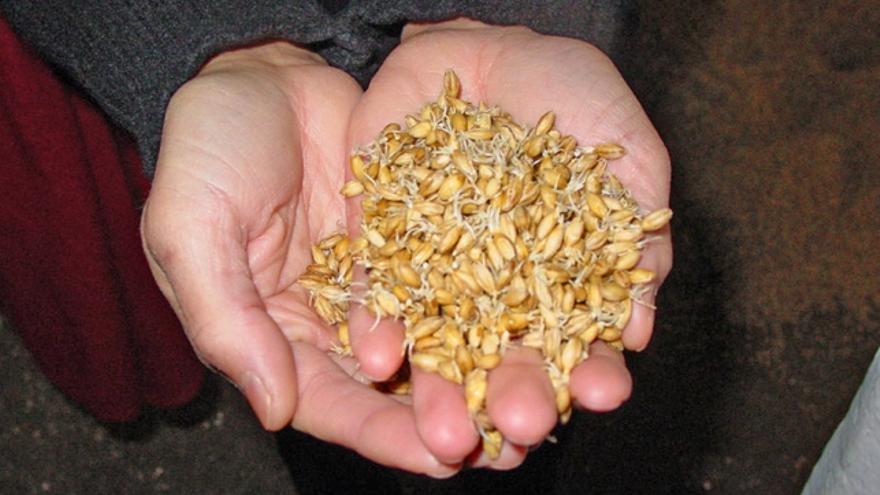 El grano de cevada germinado y listo para su tueste. Imagen: Finlay McWalter