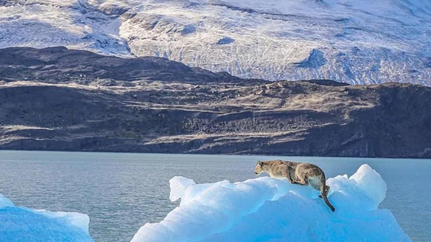 La imagen del puma sobre un hielo desprendido se hizo viral esta semana.