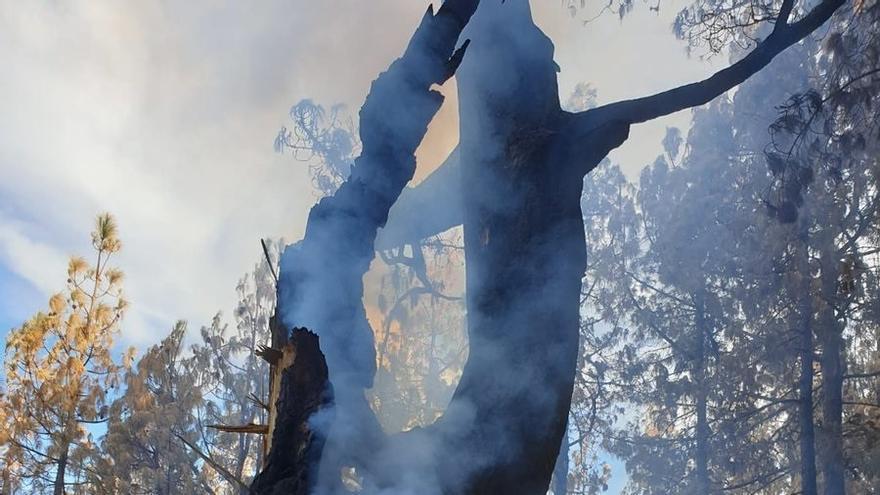 Rebrote de llamas en un árbol en Pinos de Gáldar.