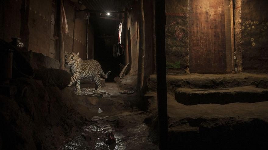 Big Cat in My Backyard / Nayan Khanolkar, India