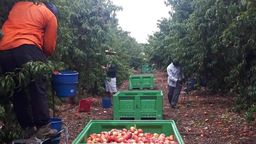 Trabajadores en una plantación de nectarinas del Bajo Cinca.