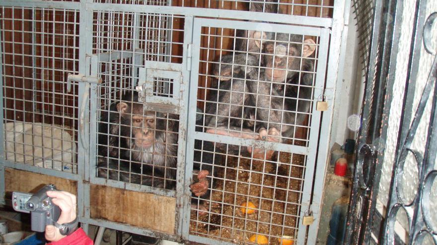 """Tarzán y Loti, que salían en la campaña solidaria """"La Marató"""" de TV3, vivían en esta jaula en un garaje. Foto: PGS / FAADA / Rainfer"""