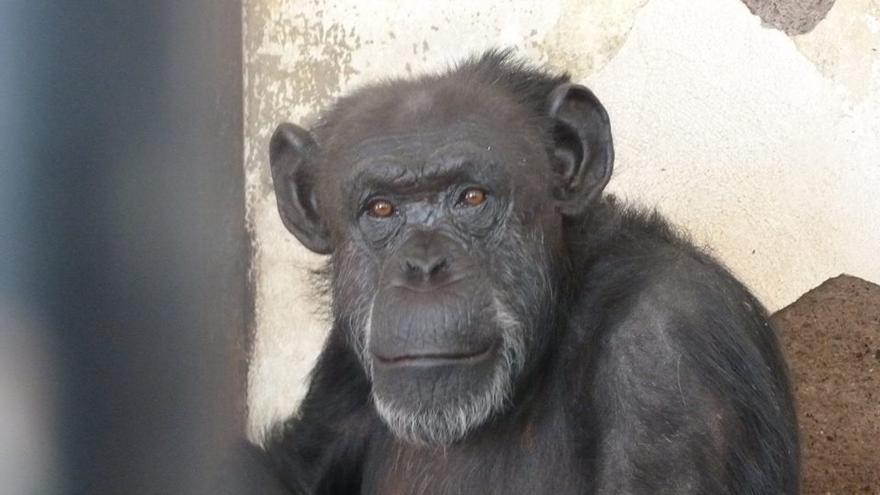 Cecilia, la chimpancé cautiva en un zoológico, a la que una jueza argentina obliga a liberar. Foto: Proyecto Gran Simio