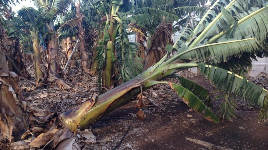 Plantones tumbados por el viento en una explotación de plátanos de Canarias, en una imagen de archivo