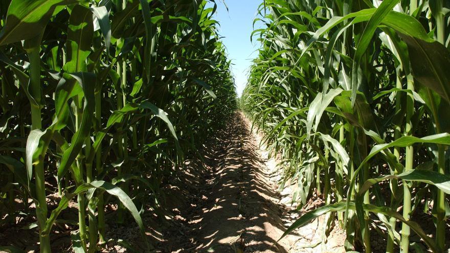 En Aragón se cultivan más de 54.000 hectáreas de maíz transgénico