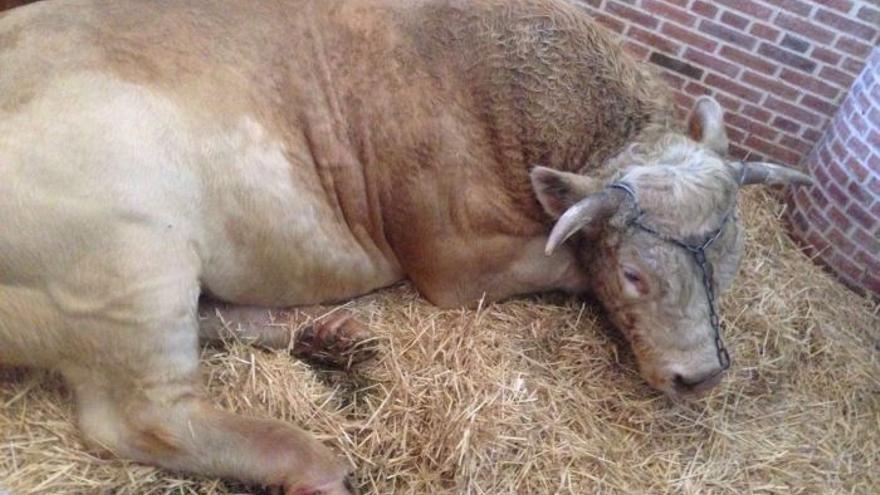 Una de las imágenes del toro utilizado en la ópera 'Moisés y Aarón' que forman parte de la denuncia presentada por Justicia Animal.