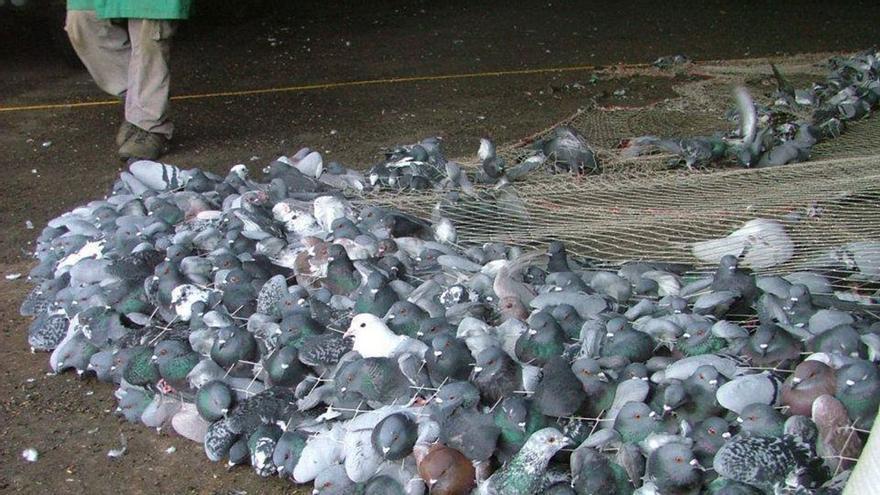 Captura de palomas en Barcelona. (Change.org).