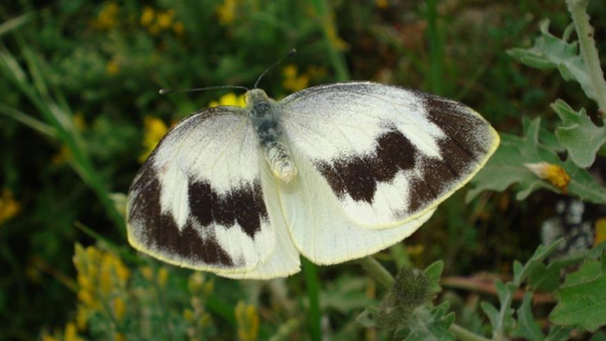 Ejemplar de la mariposa capuchina.
