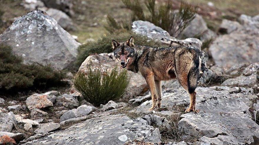 lobo ibérico ECOLOGISTAS EN ACCIÓN