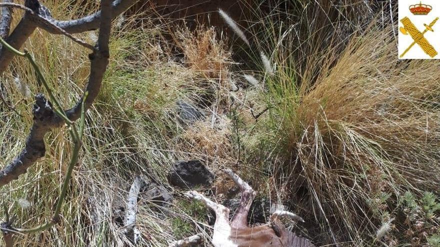 El animal yace muerto en un pequeño barranco, en una imagen servida por la Guardia Civil