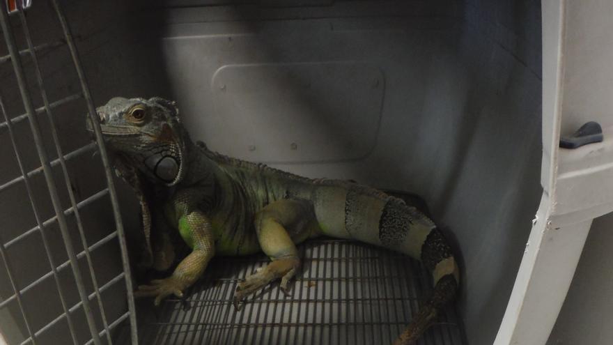 La iguana verde hallada en Alcalá