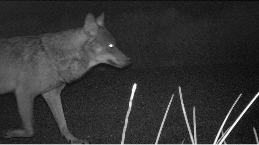 Imagen de fototrampeo del lobo de los Monegros captada en Tardienta en mayo de 2019.