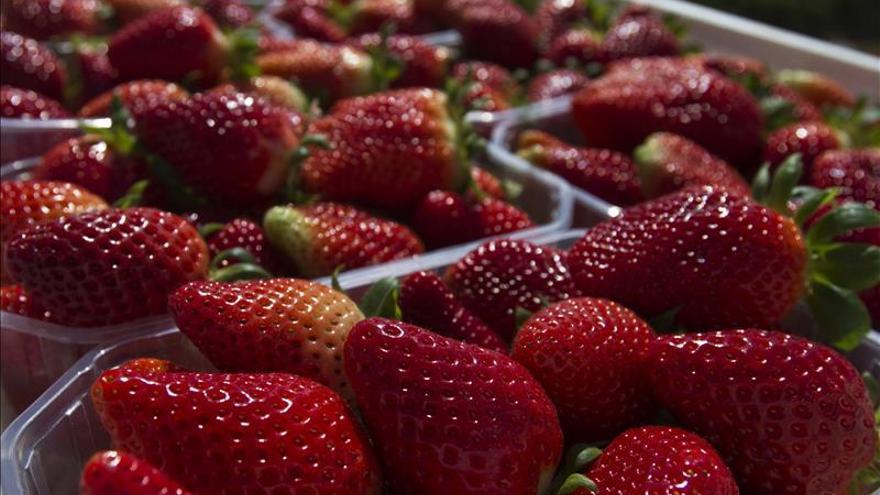 La campaña de la fresa se normaliza tras la sobreproducción de diciembre