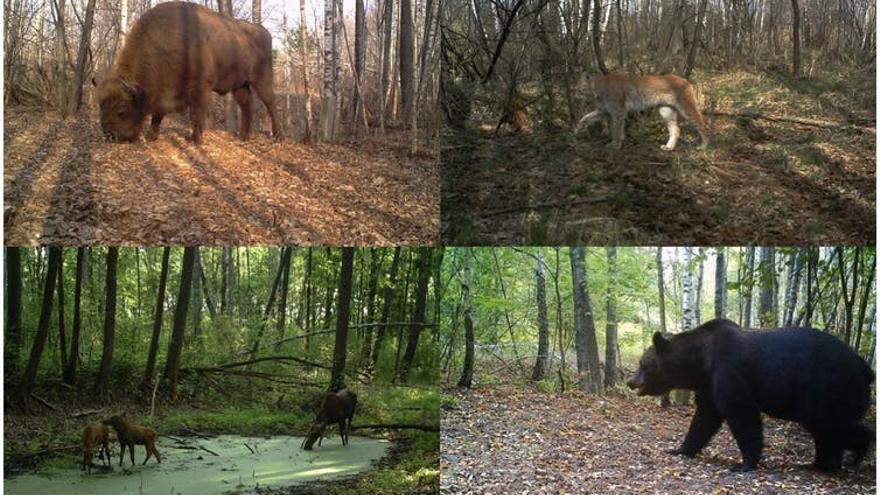 Bisonte europeo (Bison bonasus), lince boreal (Lynx lynx), alces (Alces alces) y oso pardo (Ursus arctos) fotografiados por las cámaras del proyecto TREE dentro de la zona de exclusión de Chernóbil (Ucrania)