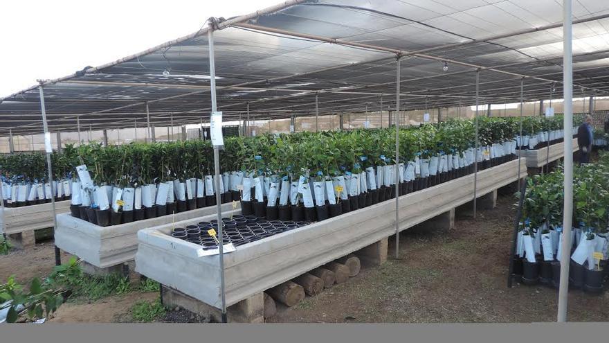 Árboles frutales adquiridos por el Cabildo de Gran Canaria.