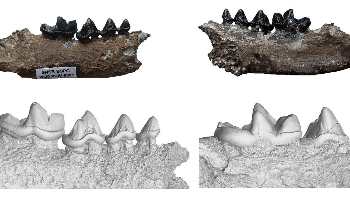 Mandíbula de la nueva especie de nutria, Vishnuonyx neptuni, con una vista detallada en 3D del modelo obtenido del escaner micro-CT.