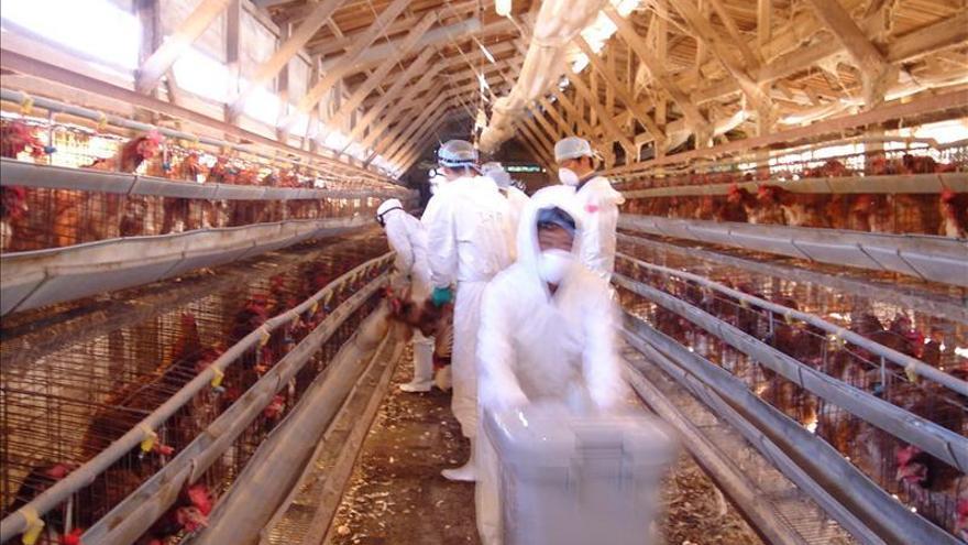 Detectan nuevos casos de gripe aviar en gansos silvestres de Japón