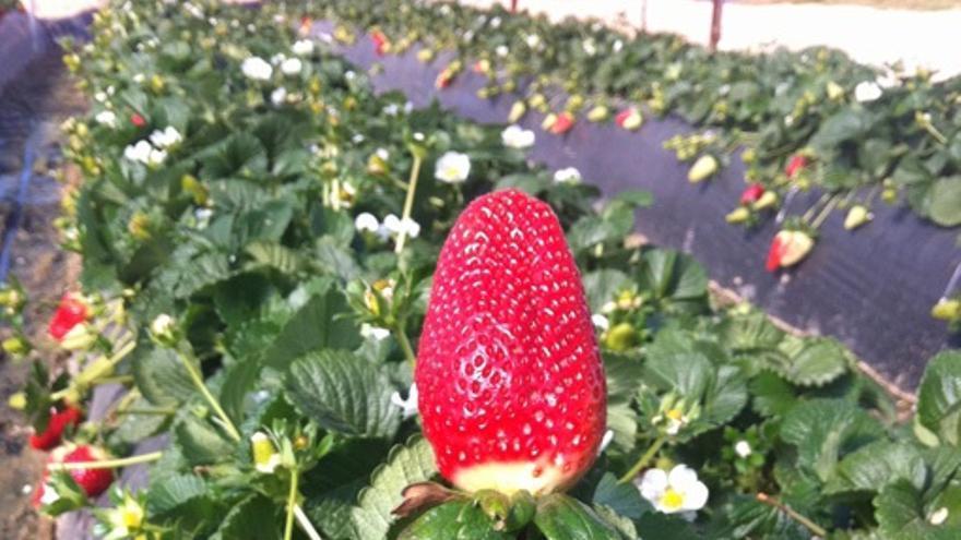 Contrataciones en origen y el monocultivo global de la fresa