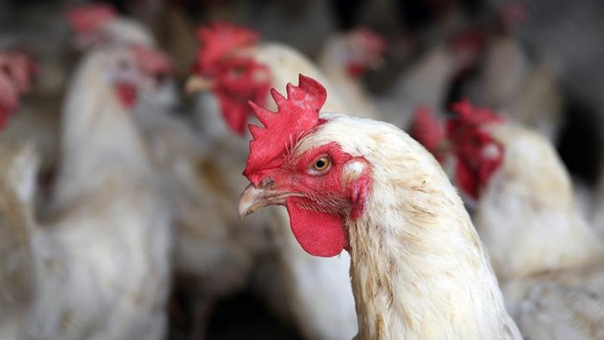 Bruselas impone nuevas restricciones a la importación de pollo de Brasil