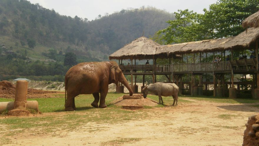 Búfalo de agua y elefanta se saludan al cruzarse por el parque. Foto: Sara Hernández Cofiño.