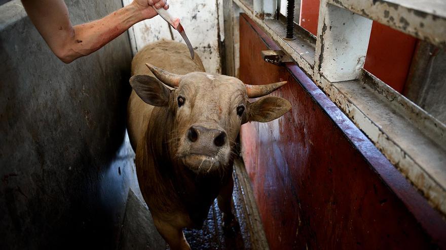Cuando se clava un cuchillo en la médula espinal, con el fin de facilitar el manejo de las vacas, los animales quedan inmóviles pero siguen conscientes. La Barca (Jalisco), 2016