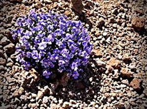 teide violet