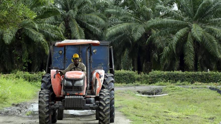 Superan en norte de Colombia emergencia por pudrición de cogollo en palmas