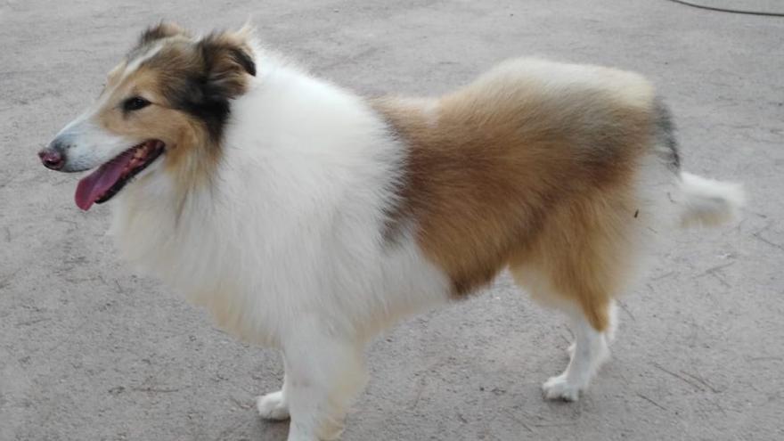 Thor, perro perdido el pasado 13 de agosto en Cartagena